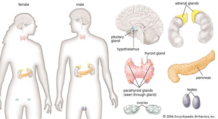 endokry